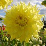 Pennhill Yellow Queen - Large